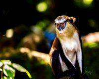 Impossibly gorgeous. Mona Monkey, Osogbo