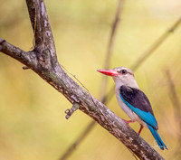 Brown-hooded Kingfisher (Halcyon albiventris). Mfuwe, Zambia
